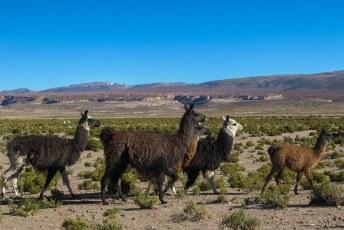 Hier maken de Bolivianen gehakt van (en hamburgers en truien).