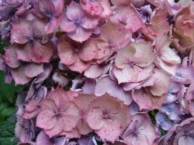 antique pink hydrangea