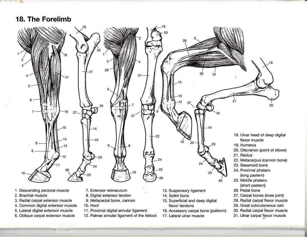 The Forelimb
