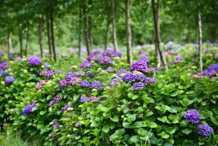 purple hydrangea farm