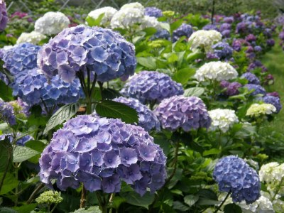 organic hydrangea wedding flowers