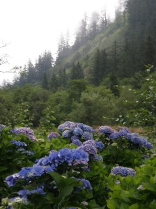 organic hydrangea production