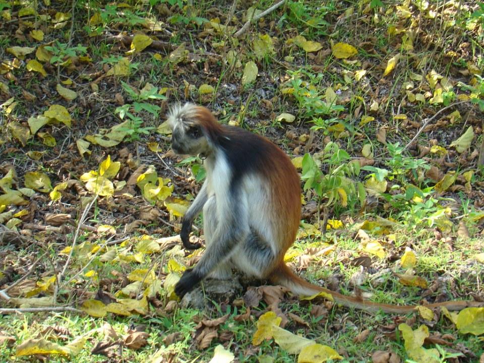 mono colobo rojo animales Zanzibar Tanzania 02