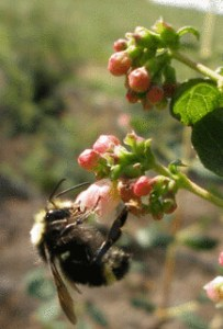 bee pollination of snowberries