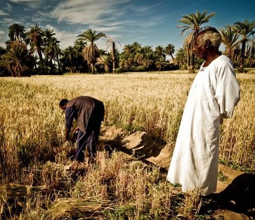 Nubian wheat harvest