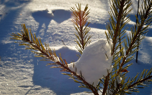 Pine needles and snow