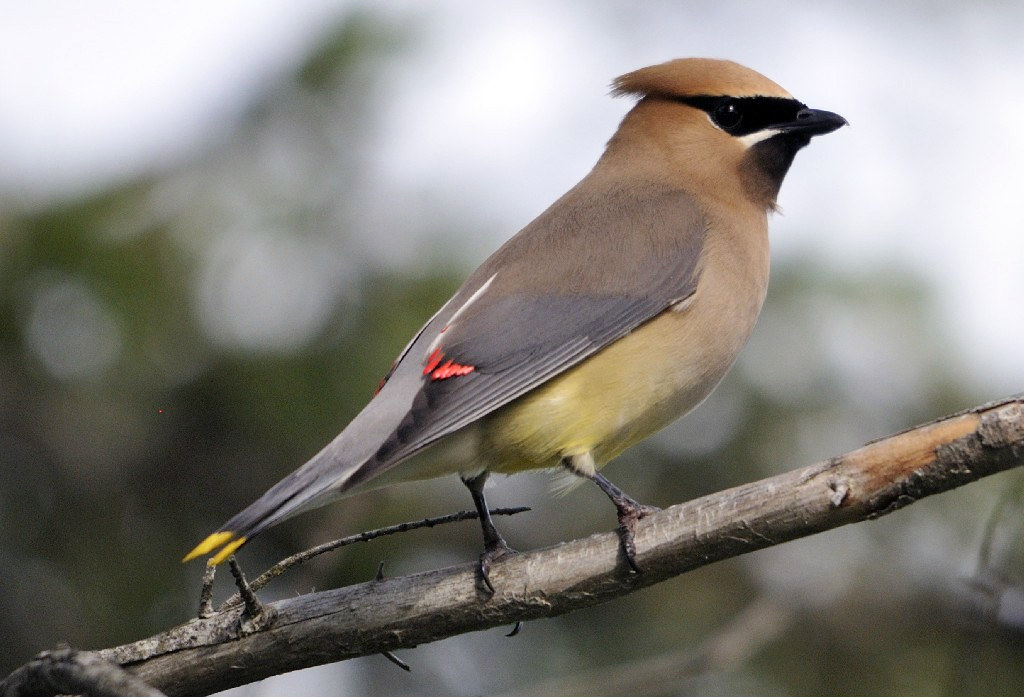 Photo of the week - Cedar waxwing (MA)