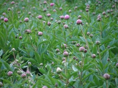 Veriflora Certified Peony Farm