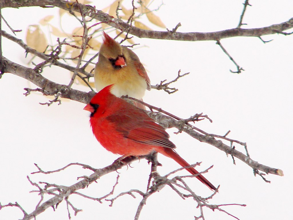 Cardinals In A Crab Apple Tree