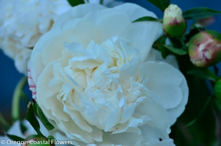 wholesale white peonies-2