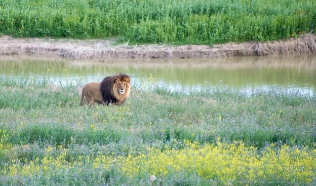 Colorado Lion