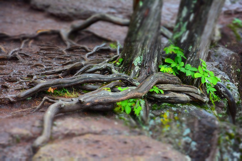 Miniaturized tree roots at Gooseberry Falls