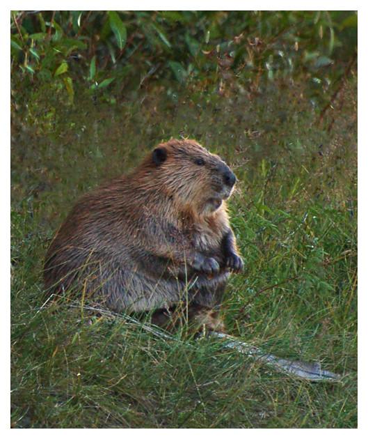 Snake River Beaver