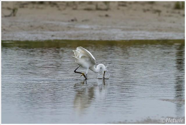 kleine zilverreiger (Little Egret) (7D031719)