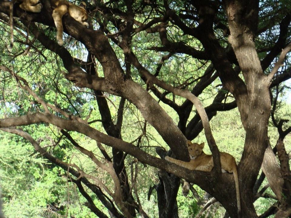 Leonas sobre ramas de arbol Safari Parque Nacional Lago Manyara Tanzania 08