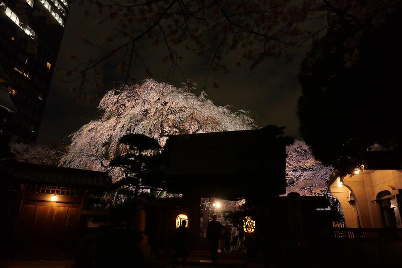 Joenji temple weeping cherry 16