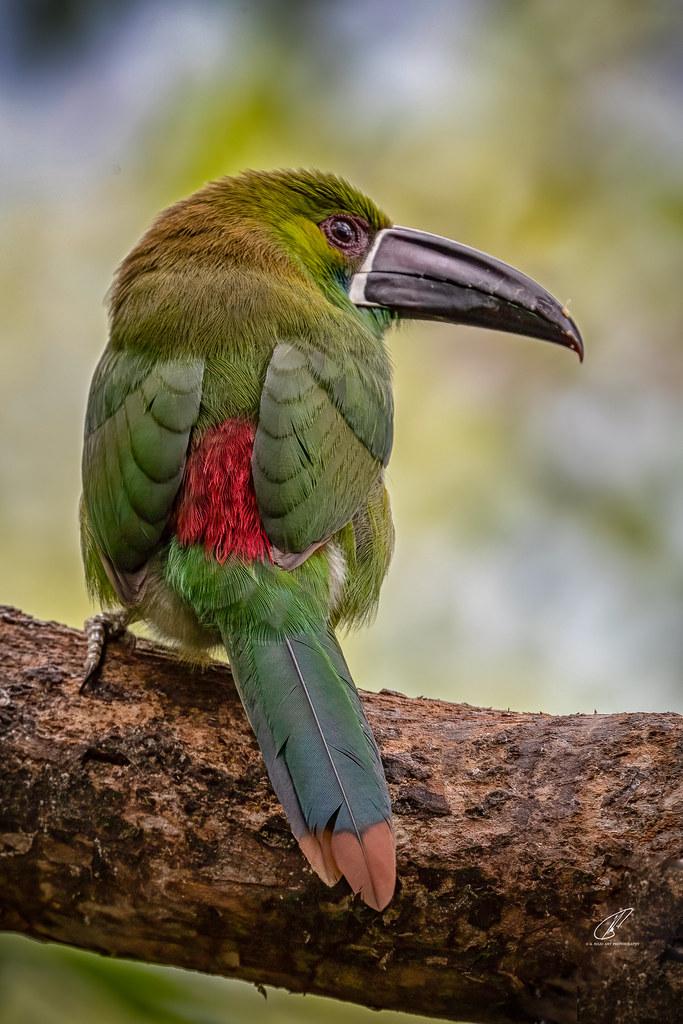 (Explored n 108) Tucan Verde (Aulacorhynchus haematopygus)
