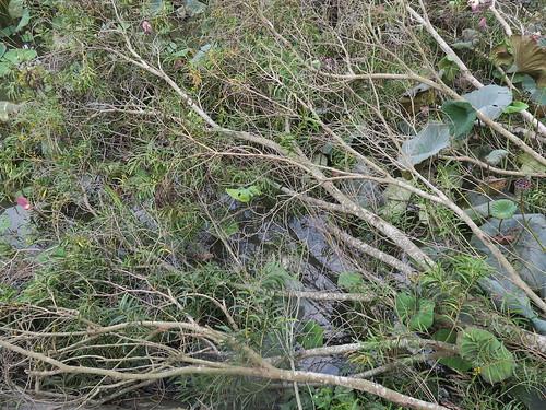 念 庭院倒下的相思樹