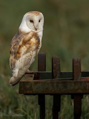 Agriculturally barn owl
