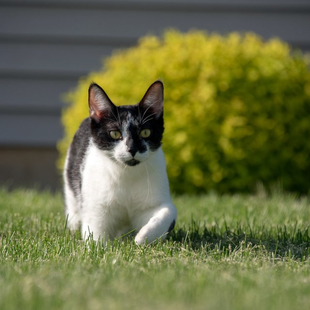 Smudge in the yard, walking toward the camera.