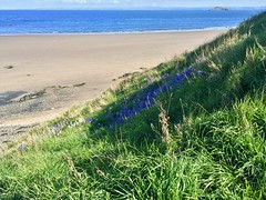 Bluebells on the Cliff