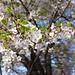 葉桜も嫌いじゃない…って去年も同じことを言っていた気がするけど。 #flowers #sakura #cherryblossom #spring #himeji #japan #commute #桜 #花 #春 #姫路 #通勤 #pentax #pentaxk70 #k70