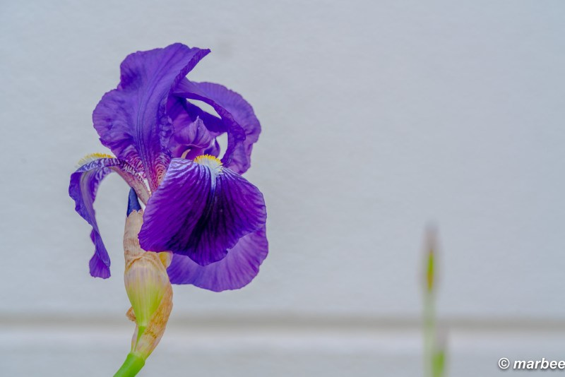 Iris tectorum was in bloom