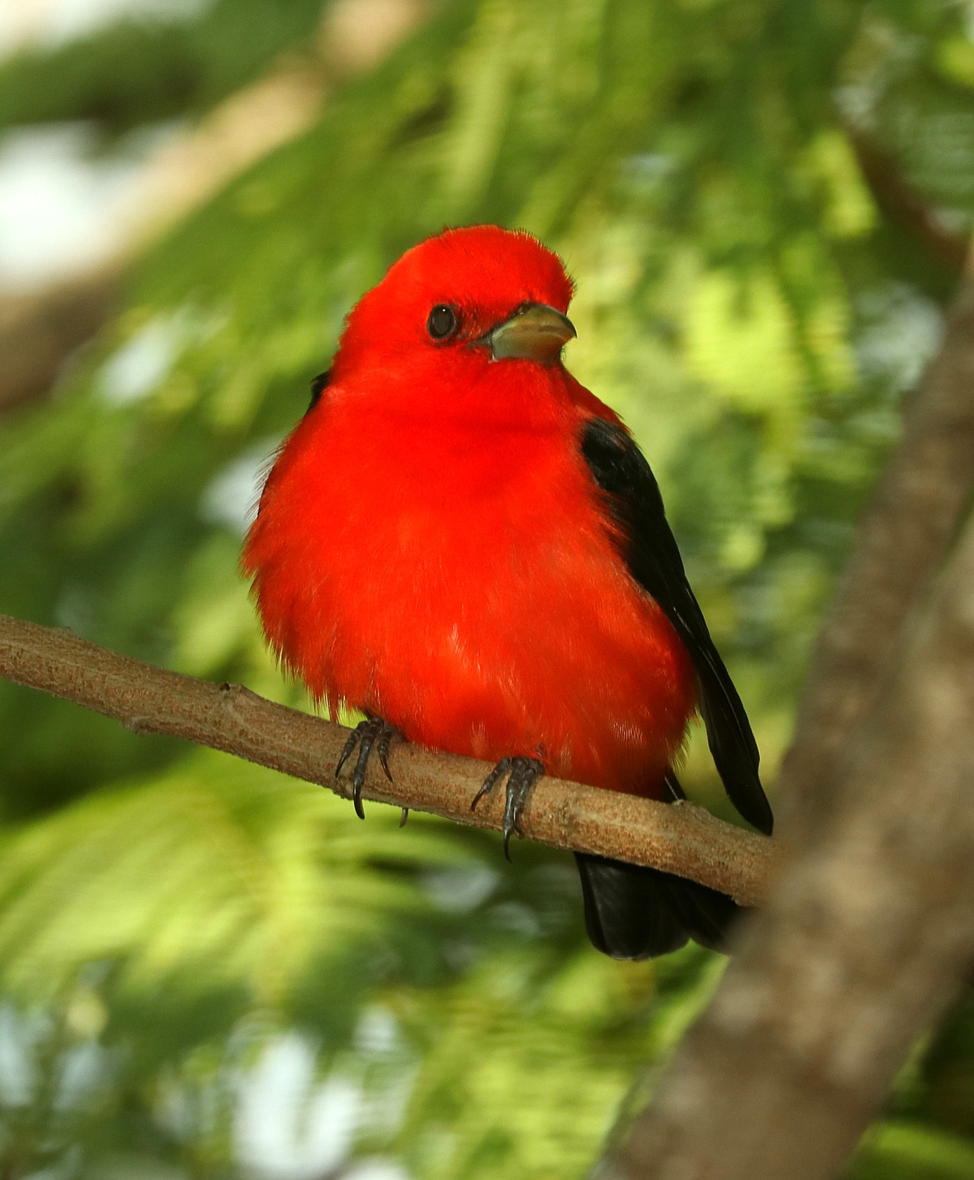 912 - SCARLET TANAGER (4-27-2019) convention center, south padre island, cameron co, tx -07