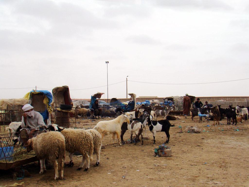 Sahara cabras ovejas Desierto del Sahara 25