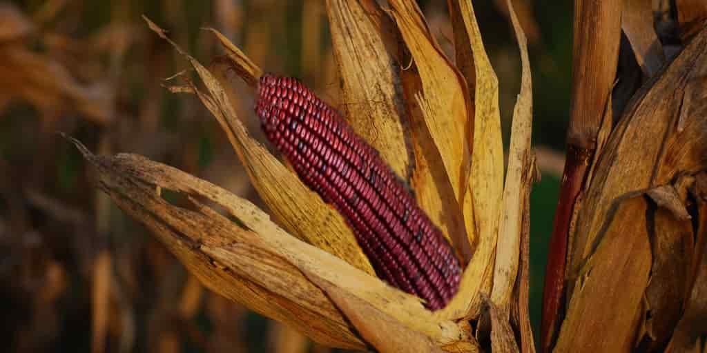 le-maïs-violet-effet-antidiabétique