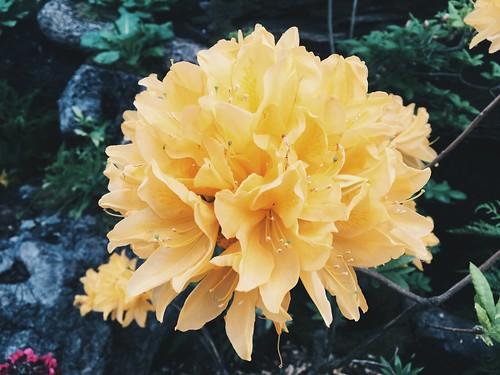 Flandes y las flores