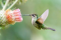 Colibri Admirable **Eugenes spectabilis** Costa Rica Album