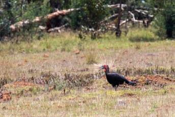 Vlak voor we die gevonden hadden zagen we nog deze Zuidelijke Hoornraaf (Bucorvus leadbeateri).