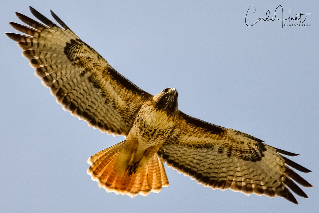 Red-tailed Hawk, Vernon, BC