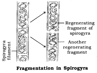 How do Organisms Reproduce Class 10 Notes Science Chapter 8 3