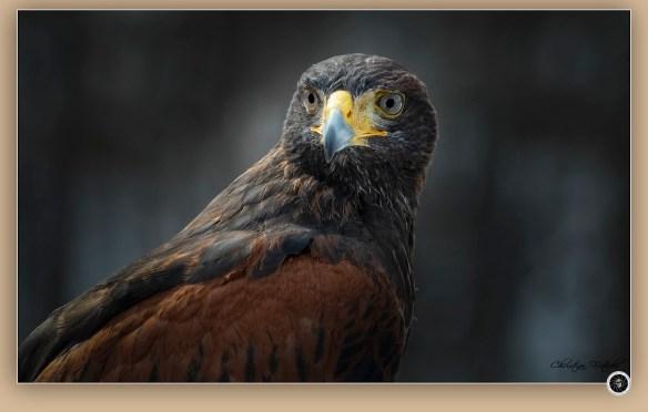 Buse de Harris / Harris's Hawk / Parabuteo unicinctus