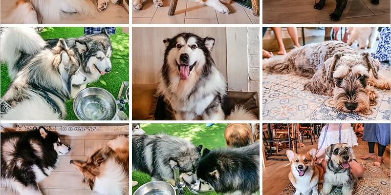 泰國曼谷寵物咖啡廳   Dog In Town(Ekkamai)-喜歡哈士奇及狗兒寵物的人不能錯過的寵物咖啡廳。