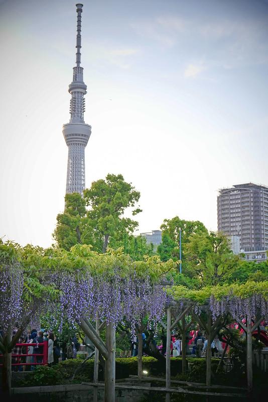 Kameido Tenjin Shrine wisteria festival 02