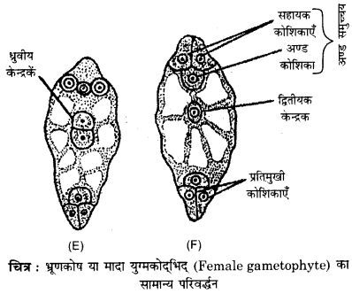 RBSE Solutions for Class 12 Biology Chapter 2 2Q.5.2