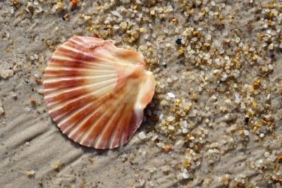 Scallop shell on Hazards Beach #marineexplorer