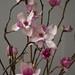 Tulip Magnolia Flowers Pink