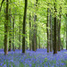 'Bluebell Forest'