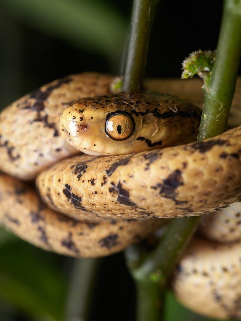 泰雅鈍頭蛇 Atayal Slug-eating Snake | [ 泰雅鈍頭蛇 Atayal Slug-eating … | Flickr
