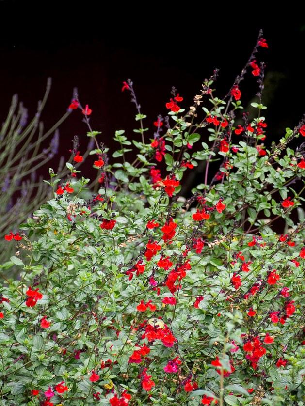 Salvia greggii