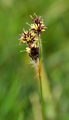 Field Wood-rush Luzula campestris