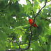 Plump Little Tanager