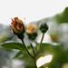 Die Rose.