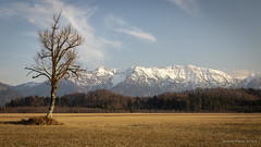 Lonely tree with view to the pre-alpine mountains