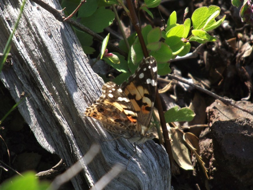 20190530_Olympic_PaintedLady butterfly, a migratory cosmopolitan species_by Karen Holtrop