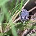 Babby Gnatcatcher